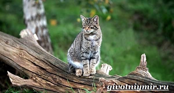 Лесной-кот-Образ-жизни-и-среда-обитания-лесного-кота-5