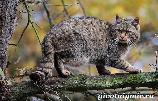 Лесной-кот-Образ-жизни-и-среда-обитания-лесного-кота-6
