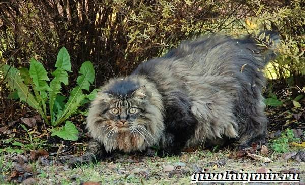 Лесной-кот-Образ-жизни-и-среда-обитания-лесного-кота-7