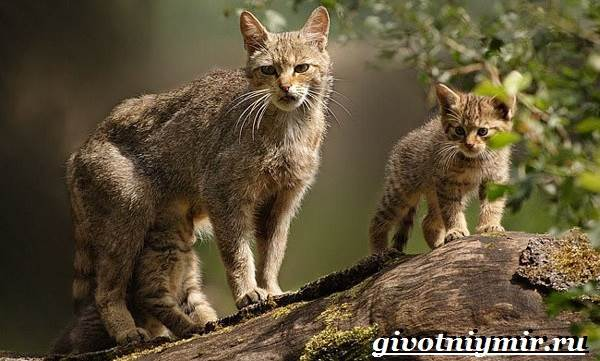 Лесной-кот-Образ-жизни-и-среда-обитания-лесного-кота-8