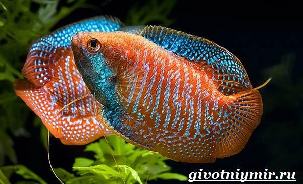 Лялиус-рыба-Описание-особенности-уход-и-цена-рыбы-лялиус-1