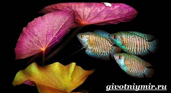 Лялиус-рыба-Описание-особенности-уход-и-цена-рыбы-лялиус-11