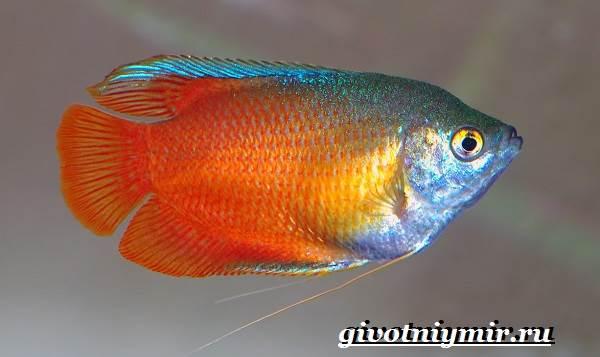 Лялиус-рыба-Описание-особенности-уход-и-цена-рыбы-лялиус-2