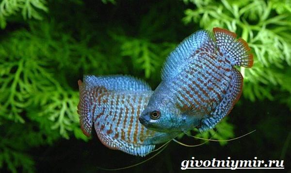 Лялиус-рыба-Описание-особенности-уход-и-цена-рыбы-лялиус-3