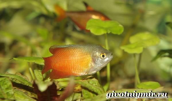 Лялиус-рыба-Описание-особенности-уход-и-цена-рыбы-лялиус-4