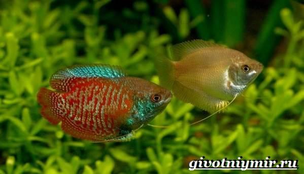 Лялиус-рыба-Описание-особенности-уход-и-цена-рыбы-лялиус-5