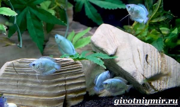 Лялиус-рыба-Описание-особенности-уход-и-цена-рыбы-лялиус-6