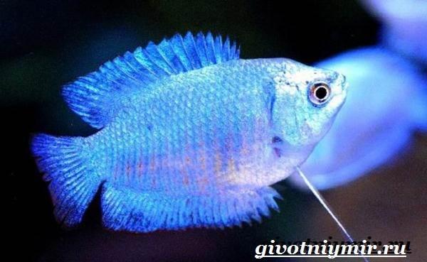 Лялиус-рыба-Описание-особенности-уход-и-цена-рыбы-лялиус-8