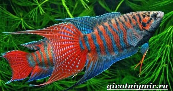 Макропод-рыба-Образ-жизни-и-среда-обитания-макропода-1