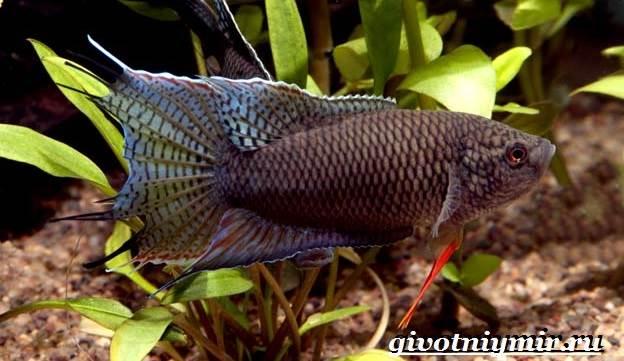 Макропод-рыба-Образ-жизни-и-среда-обитания-макропода-2
