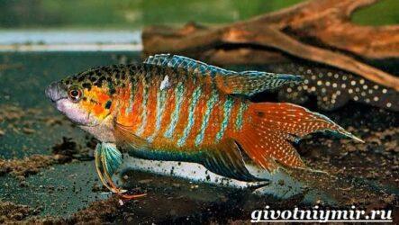 Макропод рыба. Образ жизни и среда обитания макропода