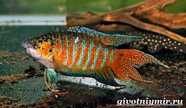 Макропод-рыба-Образ-жизни-и-среда-обитания-макропода-3