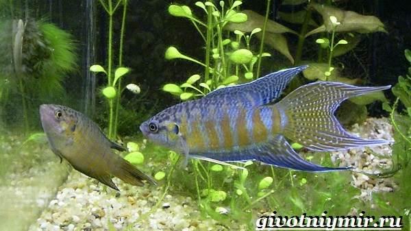 Макропод-рыба-Образ-жизни-и-среда-обитания-макропода-4