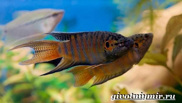Макропод-рыба-Образ-жизни-и-среда-обитания-макропода-5