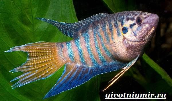 Макропод-рыба-Образ-жизни-и-среда-обитания-макропода-6