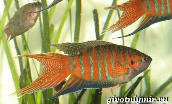 Макропод-рыба-Образ-жизни-и-среда-обитания-макропода-7