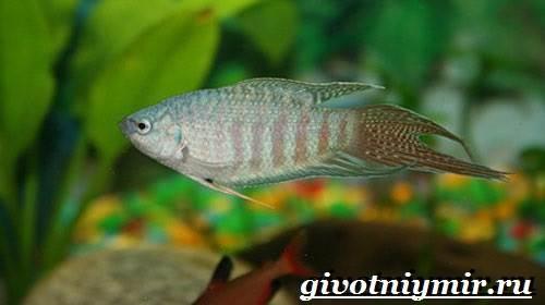 Макропод-рыба-Образ-жизни-и-среда-обитания-макропода-8
