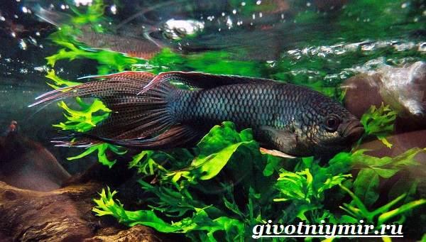 Макропод-рыба-Образ-жизни-и-среда-обитания-макропода-9