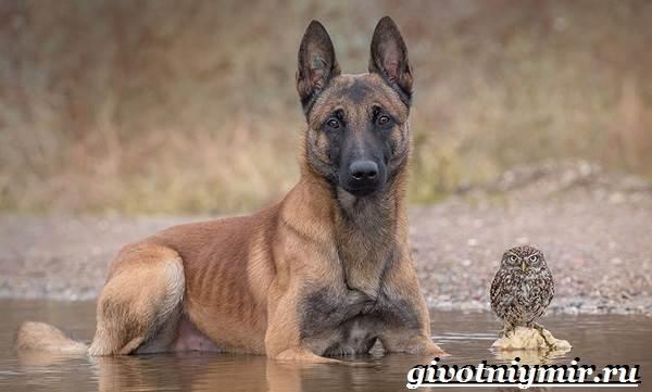 Малинуа-собака-Описание-особенности-уход-и-цена-породы-малинуа-1