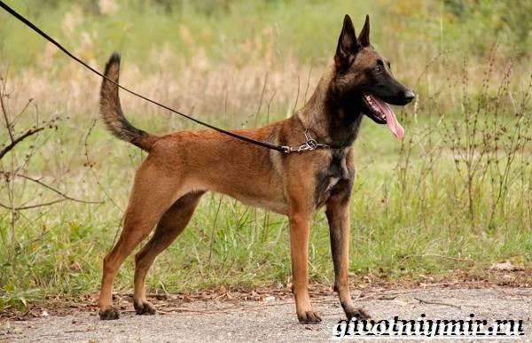 Малинуа-собака-Описание-особенности-уход-и-цена-породы-малинуа-3