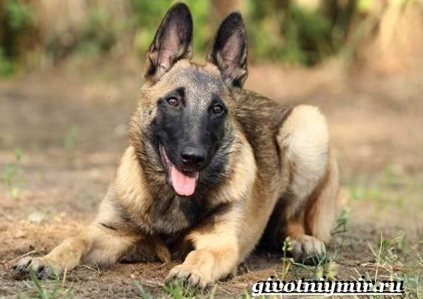 Малинуа-собака-Описание-особенности-уход-и-цена-породы-малинуа-5