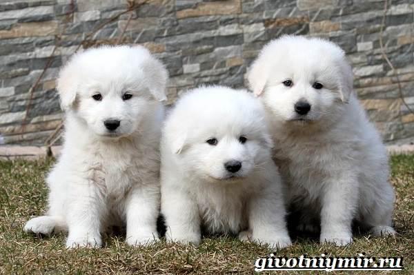 Маремма-собака-Описание-особенности-уход-и-цена-мареммы-10