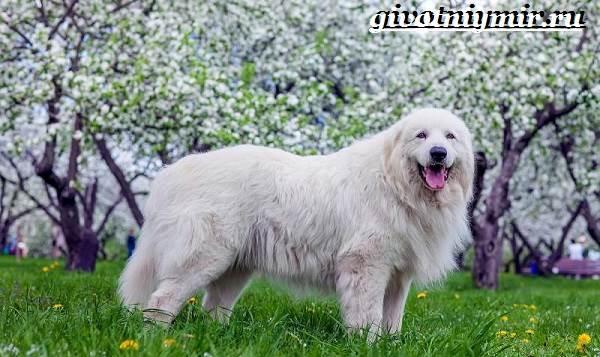 Маремма-собака-Описание-особенности-уход-и-цена-мареммы-3