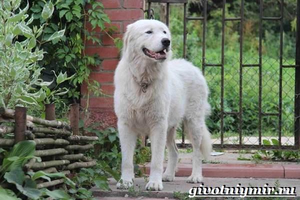 Маремма-собака-Описание-особенности-уход-и-цена-мареммы-4