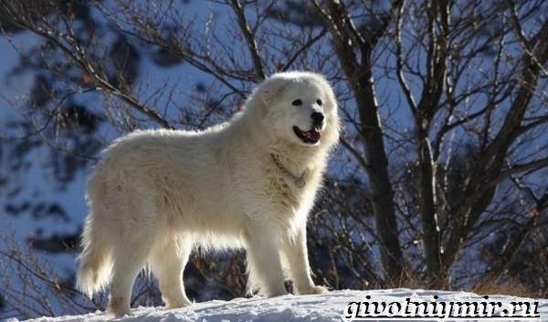 Маремма-собака-Описание-особенности-уход-и-цена-мареммы-5