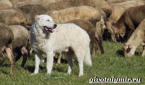 Маремма-собака-Описание-особенности-уход-и-цена-мареммы-6