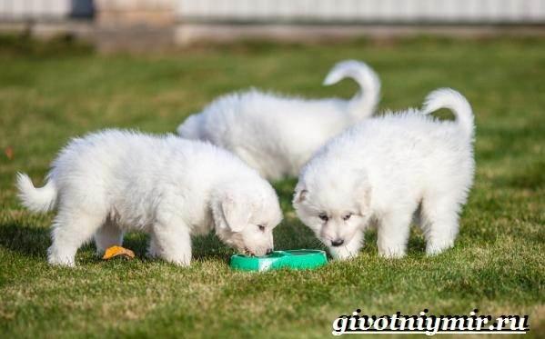 Маремма-собака-Описание-особенности-уход-и-цена-мареммы-8