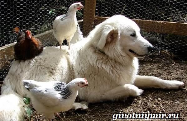 Маремма-собака-Описание-особенности-уход-и-цена-мареммы-9