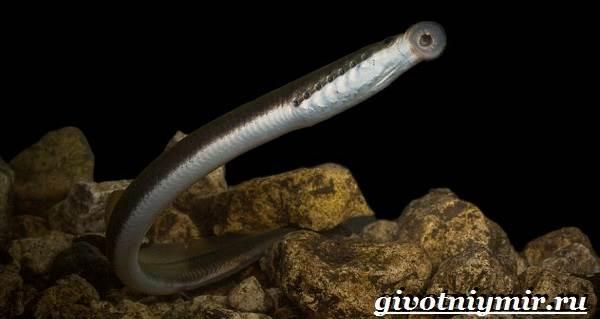 Минога-рыба-Образ-жизни-и-среда-обитания-миноги-4