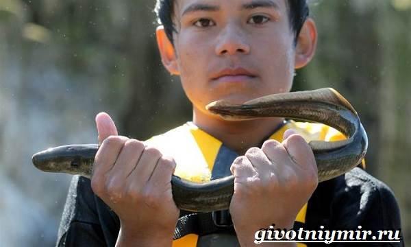 Минога-рыба-Образ-жизни-и-среда-обитания-миноги-9