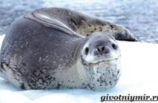Морской леопард. Образ жизни и среда обитания морского леопарда