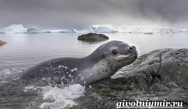 фотография морского леопарда