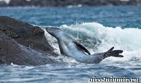 Морской-леопард-Образ-жизни-и-среда-обитания-морского-леопарда-4