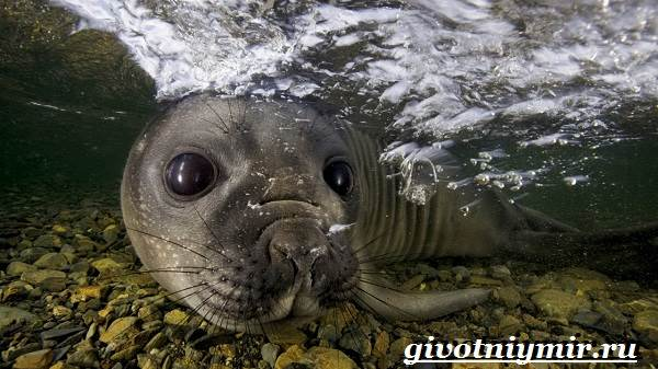 Морской-леопард-Образ-жизни-и-среда-обитания-морского-леопарда-5