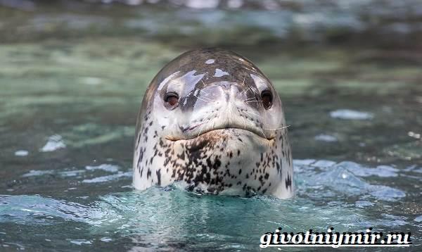 Морской-леопард-Образ-жизни-и-среда-обитания-морского-леопарда-7