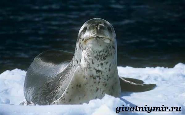 Морской-леопард-Образ-жизни-и-среда-обитания-морского-леопарда-8