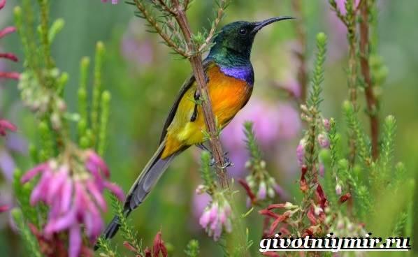 Нектарница-птица-Образ-жизни-и-среда-обитания-нектарницы-1