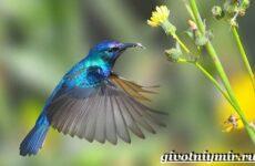 Нектарница птица. Образ жизни и среда обитания нектарницы