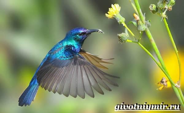 Нектарница-птица-Образ-жизни-и-среда-обитания-нектарницы-2