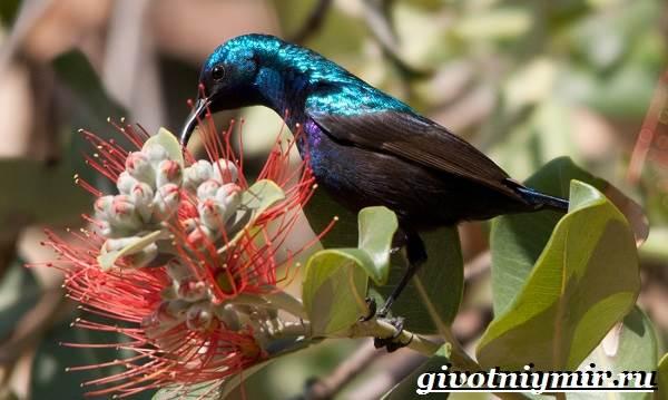 Нектарница-птица-Образ-жизни-и-среда-обитания-нектарницы-5