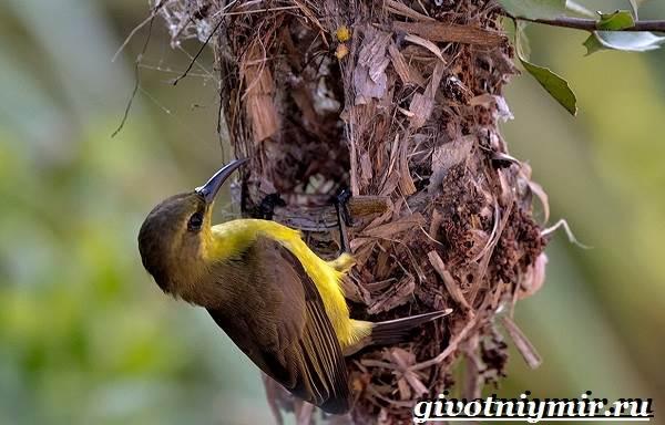 Нектарница-птица-Образ-жизни-и-среда-обитания-нектарницы-8
