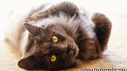 Нибелунг кошка. Описание, особенности, уход и цена кошки нибелунг