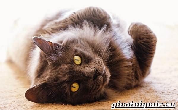 Порода кошек нибелунг - домашние любимцы Редкая порода кошек нибелунг