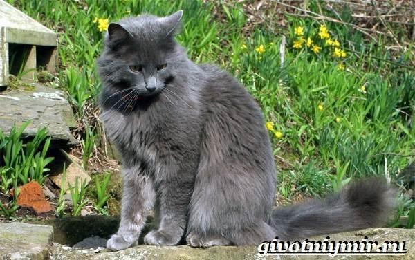 Нибелунг-кошка-Описание-особенности-уход-и-цена-кошки-нибелунг-2