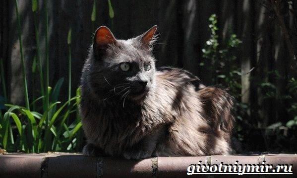 Нибелунг-кошка-Описание-особенности-уход-и-цена-кошки-нибелунг-4