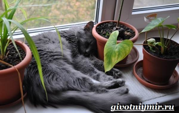 Нибелунг-кошка-Описание-особенности-уход-и-цена-кошки-нибелунг-5